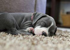 Cute pitbull puppy:)