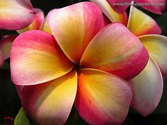 Google Image Result for http://www.flowerpictures.net/blooming/images/plumeria_04-2.jpg