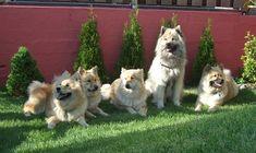 Eine Gruppe Eurasier