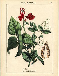 Printable Botanical Prints - Peas and Flowers - The Graphics Fairy