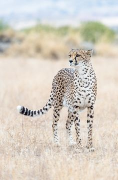 Cheetah - null