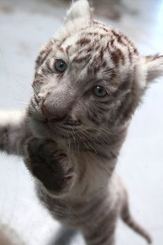 Snow leopard Cute Baby Animals, Animals And Pets, Funny Animals, Wild Animals, Beautiful Cats, Animals Beautiful, White Tiger Cubs, White Tigers, White Lions