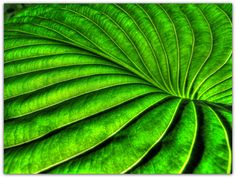 https://flic.kr/p/abcuso | Beautiful Curves in Nature | Das grüne Hosta-Blatt, fotografiert im Gegenlicht  The green Hosta  leaf, captured in backlight