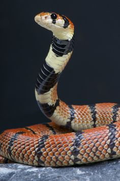 Cape Coral Snake - Aspidelaps lubricus