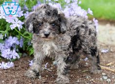 You can get a new puppy today by viewing our adorable newborn puppies of many different breeds! Find a new furry friend that's perfect for you and your family! Toy Puppies For Sale, Toy Poodle Puppies, Newborn Puppies, Pet Dogs, Dog Cat, Pets, Smartest Dogs, Dog Smells, Most Popular Dog Breeds