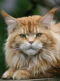 Maine Coon Lower Saxony | Maine coon litter | Maine Coon Cats | Rabeler | Germany | Youngsters