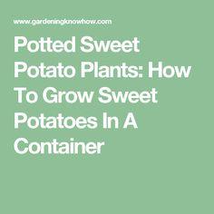 Potted Sweet Potato Plants: How To Grow Sweet Potatoes In A Container Sweet Potato Plant, Growing Sweet Potatoes, Fruit Seeds, Home Food, Edible Garden, Fruit And Veg, Garden Plants, Harvest, Container