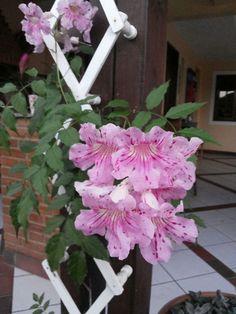 Sete léguas. Florada de agosto.