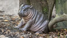 See why this adorable baby hippo has been nicknamed 'Michelin Man'