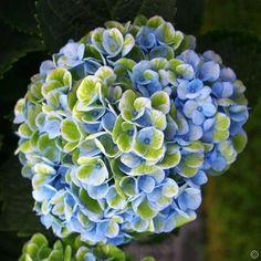Hortensia Magical Revolution Blue