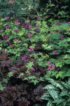Geranium 'Ann Folkard' 2' x 3' spread, likes sun, great with chartreuse and purple, shown with a burgundy heuchera, maybe 'Purple Palace'