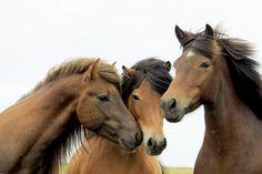Icelandic horses by Anna Guðmundsdóttir