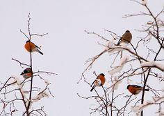 Punatulkkuja talvihöyhenissä värjöttelemässä puun oksilla. Liesjärven kansallispuisto. Kuva: Kirsti Hassinen