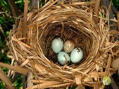 redwing blackbird nest