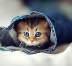 Dozens of Cute Cats and Kittens - I Can Has Cheezburger? and kittens Cute Little Kittens, Cute Kittens, Cats And Kittens, Siamese Cats, Cats Meowing, Beautiful Kittens, Animals Beautiful, Beautiful Eyes, Pretty Eyes