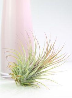 Атмосферное растение без корней