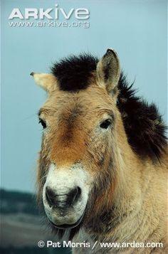 Przewalski's horse - endangered direct descendants of prehistoric horses