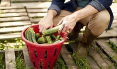 How to plant delicious cut-and-come-again courgettes