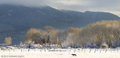 Coyote morning-in a Taos meadow. Geraint Smith 2012