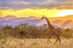 Sunset Safari Photo and caption by Mike Holtby 2017 National Geographic Travel Photographer of the Year National Geographic Animals, National Geographic Travel, Travel 2017, Sunset Pictures, Sunset Pics, African Safari, Travel Photographer, Beautiful Landscapes, Travel Photos