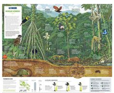 Bosque Húmedo. Infography: M.Canales y W.Sánchez. Illustration: F.Rojas y D.Solano. Research: A.Vargas y A.Callejas. La Nación