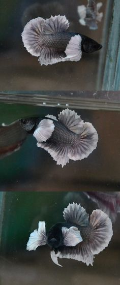 fwbettashmp1397095840 - ## Copper Butterfly Big Ear ##