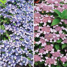 Zwerg-Hortensien-Kollektion,2 Pflanzen