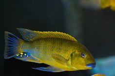 pseudo williamsi Blue lips Best Aquarium Fish, Tropical Fish Aquarium, Aquarium Ideas, Cichlid Aquarium, Cichlid Fish, Discus, Tropical Freshwater Fish, Freshwater Aquarium Fish, Malawi Cichlids