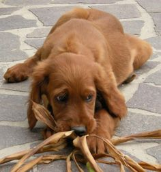 Sweet Irish Setter puppy face!