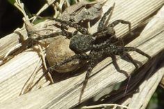 The sun came out on a December Sunday after a bitter cold spell, and many spiders like this Thinlegged Wolf Spider came out to warm up (Genus Pardosa)