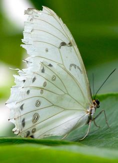 17 Pictures of the Best Beautiful Butterfly Wings - meowlogy Butterfly Kisses, White Butterfly, Butterfly Wings, Butterfly Fairy, Butterfly Photos, Butterfly Chrysalis, Butterfly Live, Morpho Butterfly, Butterfly Flowers
