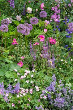 Allium, Cistus, Nepeta, Alchemilla, roses, Lupinus, Delphinium, geranium, for pretty planting combination in blue, purple, pink color theme