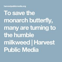 To save the monarch butterfly, many are turning to the humble milkweed | Harvest Public Media