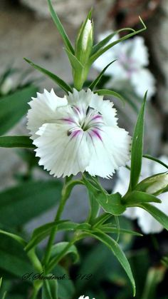 Dianthus is a great plant. Often perenialize in Geotgia.  Happy plant on ted,pink, and white.  Plant a flat in full sun.