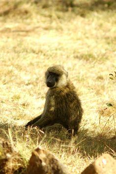 Baby Baboon, Kenya