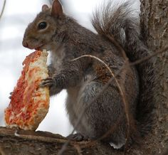 A squirrel eating a slice of pizza: