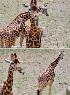 Giraffes Are Derpy