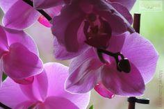 Orchideák gondozása: ne dobjuk ki elvirágzás után a csodás növényt! Orchids, Neon, Flowers, Plants, Gardening, Lawn And Garden, Neon Colors, Plant, Royal Icing Flowers