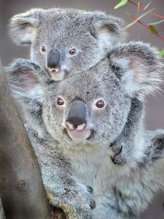 Koalas at the San Diego Zoo