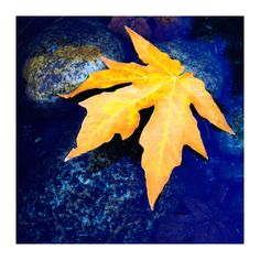"""""""Yosemite Golden Leaf Nature River"""" by Chase Lindberg Yellow Art, Mellow Yellow, Blue Yellow, Night Aesthetic, Blue Aesthetic, Royal Blue And Gold, Blue Gold, Blue And Yellow Living Room, Yellow Photography"""