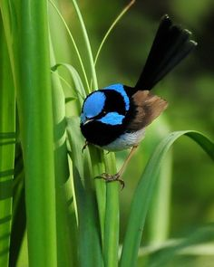 Fairy Wren From Australia