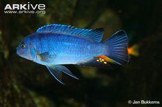 Cyan hap (Pseudotropheus cyaneus)
