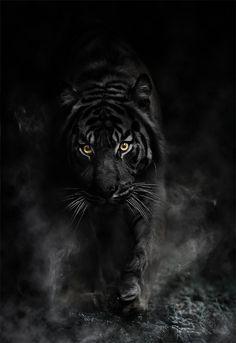 Tigers Curse, Black Tiger, Sohan Kishan Rajaram