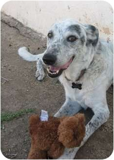 Pictures of Susie a Catahoula Leopard Dog Mix for adoption in Gilbert, AZ who needs a loving home.