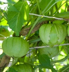 Tomatillo. Grow without support. Plants grow big, and if unpruned, should be spaced 2-3' apart. Harvest when the fruit is plump and papery husk splits. Fruits store 2-4 weeks at 45°F (7°C).