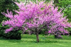 Eastern Redbud Tree - Native to NW Arkansas.  Learn  how they benefit our waterways: http://www.irwp.org/assets/conservation/riparian/TreeCorpsBrochure.pdf