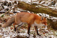 Der Jahres-Abschluß-Fuchs
