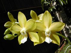 Moth-Orchid: Phalaenopsis 'Sierra Gold'