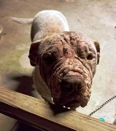 4/2/17 HE WATCHED ME SUFFER WOW... :( http://dogco.org/save-macbeth-scrPosted by Hendrick & Co. on Tuesday, March 28, 2017 Even though he can't speak, we can hear his cry for help by just looking into his eyes. We introduce you to our latest heart breaker, MacBeth. He is covered in severe demodex man