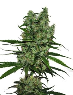 CBD Somango Feminised Seeds - LIMITED EDITION by the cannabis breeder CBD Botanic, is a Photoperiod Feminised marijuana strain.This Mostly Indica strain produces a High 450-550 gr/m2 yield. These seeds germinate in 8-9 weeks in Middle of October.This Feminised seed grows well in Indoors, Outdoors conditions. Additionally it can be expected to grow into a Tall plant reaching up to 180 cm. It has a Low (5-10%) THC Content. The CBD content of the strain is High (5% +). The user can benefit…